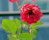 Single rose in garden Royalty Free Stock Photography