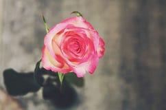 Single rose on gray background Royalty Free Stock Image