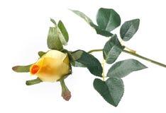 Single rose isolated Stock Image