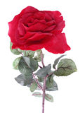 Single rose isolated Royalty Free Stock Images