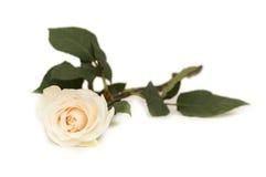 Single rose isolated. On the white background Stock Image