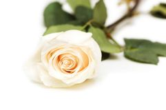 Single rose isolated. On the white background Royalty Free Stock Image