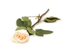 Single rose isolated on the white background Stock Photography