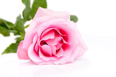 Single rose lying Royalty Free Stock Image