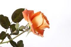 Single rose Royalty Free Stock Photo
