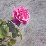 Single rose Stock Images