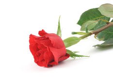 Free Single Rose On White Royalty Free Stock Photos - 608718