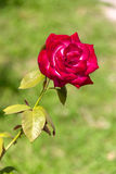 Single Rose. The photo shows a chic single rose. Juicy green background Royalty Free Stock Images
