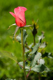 Single Rose. Pink Rose against a green background Stock Image