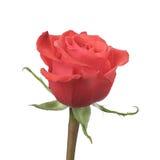 Single rose rose isolated on white background Royalty Free Stock Photography