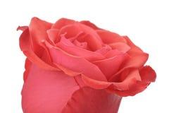 Single rose rose isolated on white background Royalty Free Stock Image