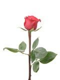 Single rose rose isolated on white background Stock Images