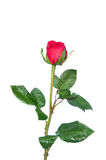Single rose stem Stock Images