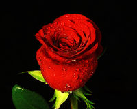 A single rose Stock Photo