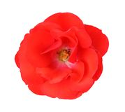Single rose Royalty Free Stock Images
