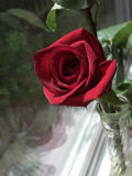 Single rose in a vase. Single rose in a glass vase near window Royalty Free Stock Photos