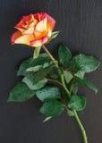 Single rose vertically Royalty Free Stock Photos