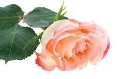 Single rose on white Royalty Free Stock Photo