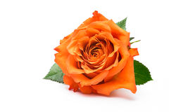 Single  rose  on white Stock Images