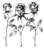Single roses. Drawing set, hand drawn Royalty Free Stock Images