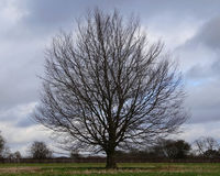 Single round tree with bare branches Royalty Free Stock Photos