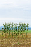 Single Row of Corn in a Field stock photos