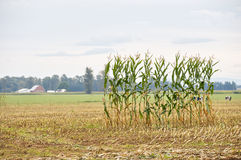 Single Row of Corn in a Field royalty free stock photo
