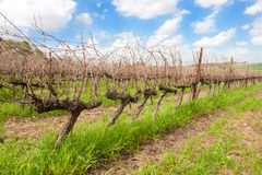Single row in a vineyard Royalty Free Stock Image