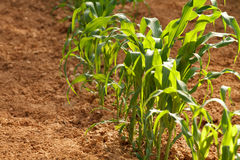 Single Row of Young Corn Plants In A Home Garden. Close-up, shallow depth of field shot of a single row of young corn plants in a countryside, homegrown garden Stock Photography