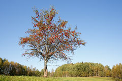 Single rowan tree. Clean blue sky stock photos