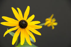 Single Rudbeckia flower Stock Images