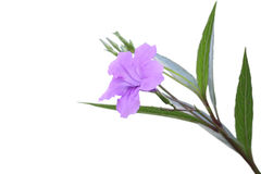 Single ruellia tuberosa flower Stock Photography