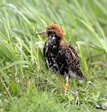 Single Ruff bird on grassy wetlands during a spring nesting peri. Od Royalty Free Stock Images