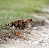 Single Ruff bird on grassy wetlands during a spring nesting peri. Od Royalty Free Stock Photography