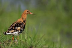 Single Ruff bird on grassy wetlands during a spring nesting peri. Od Royalty Free Stock Image