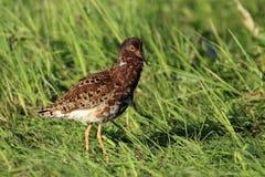 Single Ruff bird on grassy wetlands in spring season. Single Ruff bird on grassy wetlands during a spring nesting period Stock Photos