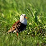 Single Ruff bird on grassy wetlands in spring season. Single Ruff bird on grassy wetlands during a spring nesting period Royalty Free Stock Images