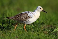 Single Ruff bird on grassy wetlands in spring season. Single Ruff bird on grassy wetlands during a spring nesting period Stock Photography