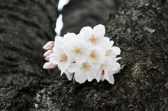 Single sakura in full blossom Stock Photos