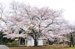 Single sakura tree in full blossom Stock Photo