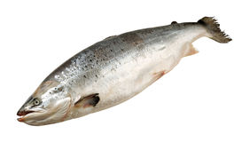Single salmon royalty free stock photography
