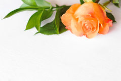 Single salmon rose and foliage Royalty Free Stock Photos