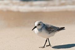 Single Sanderling bird walking Royalty Free Stock Images