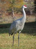 Single Sandhill Crane in Florida Stock Photography