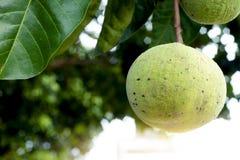 Santol fruit on the tree. Single of Santol fruit on the tree, Leaves is big and dark green, Sour taste stock photo