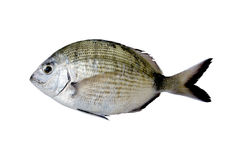 Single Sea Bream fish Royalty Free Stock Photos