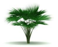 Single Sea Coconut Tree royalty free stock images