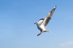 Single sea gull flying against background of blue sky Royalty Free Stock Images