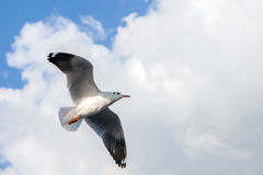 Single sea gull flying against background of blue sky Royalty Free Stock Photos