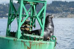 Sea Lion on navigation buoy. Single Sea Lion on navigation Buoy on sunny afternoon stock images